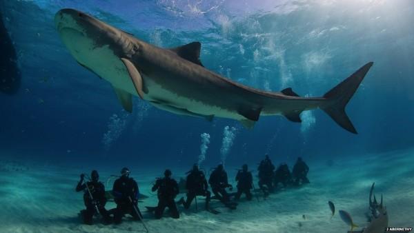bull_shark-pic